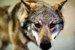 Los lobos protegidos por los ecologistas invaden y matan en Francia