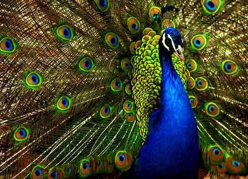 Dios quiere ser alabado en toda la escala de los seres criados por El: desde el pavo real hasta la hormiga