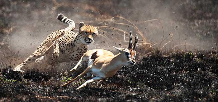 https://www.accionfamilia.org/wp-content/uploads/2019/05/cheetah-hunt.jpg