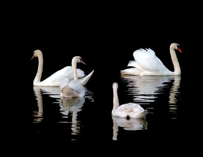 Cisnes el placer de la contemplación